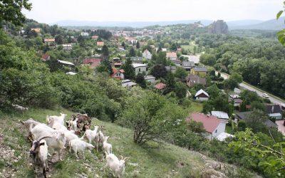 Praktická ochrana prírody – pastier/ka kôz na  Devínskej Kobyle