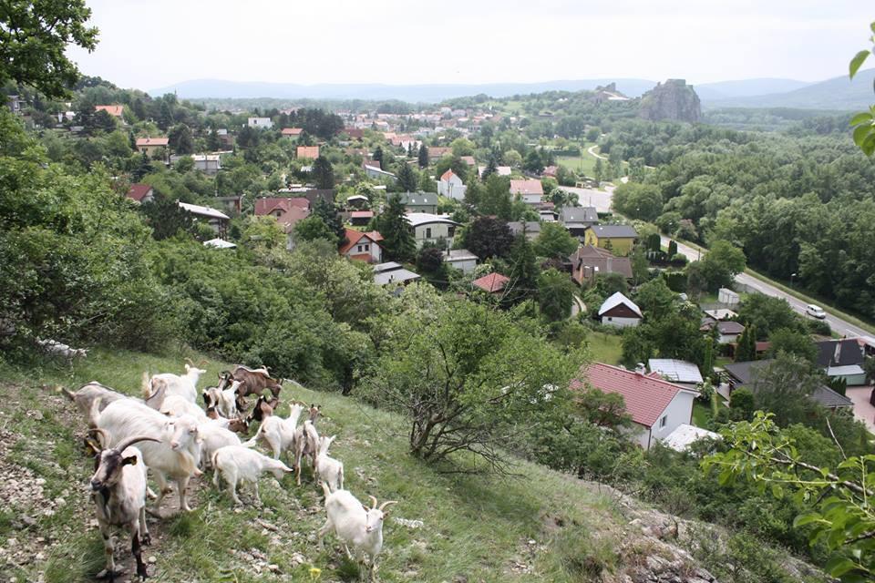 PonukyPraktická ochrana prírody – pastier/ka kôz na  Devínskej Kobyle