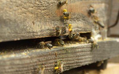 Živica priniesla do mesta včely
