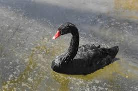 Hľadá sa redaktorka/redaktor pre portál Čierna labuť